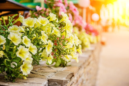 petunia: Yellow petunia flowers in summer garden. Stock Photo