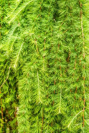 Larches are conifers in genus Larix, in family Pinaceae.  Stock Photo