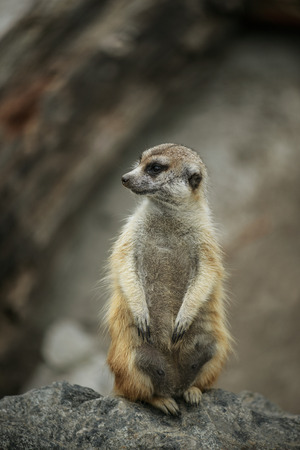 herpestidae: Meerkat or suricate, is small carnivoran belonging to mongoose family (Herpestidae).