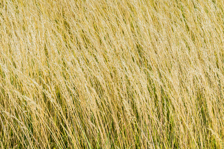 hulled: Spelt (Triticum spelta), also known as dinkel wheat, or hulled wheat