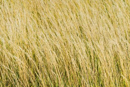 wheat grain: Spelt (Triticum spelta), also known as dinkel wheat, or hulled wheat