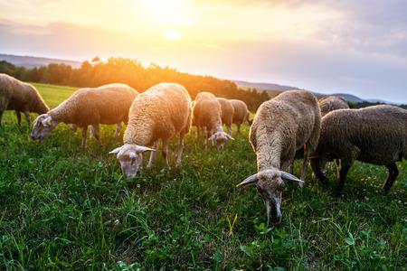 pecora: Gregge di pecore al pascolo in un pascolo ai piedi dei monti Carpazi in Slovacchia.