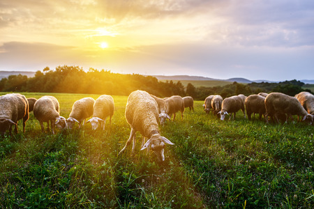 Flock of sheep grazing in a pasture in the foothills of the Carpathian mountains in Slovakia.
