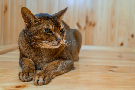 watchfulness: Abyssinian cat with brown wool with watchfulness looks towards danger.