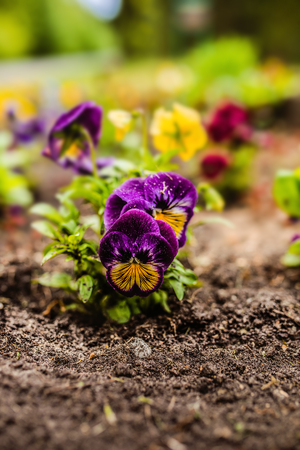garden: The garden pansy is a type of large-flowered hybrid plant cultivated as a garden flower.