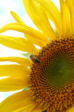 Section of a sunflower with a bee at work Stock Photo - 2614822