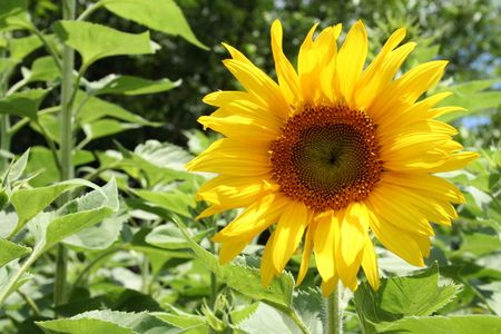 Wide open sunflower in bright daylight Stock Photo - 2614823