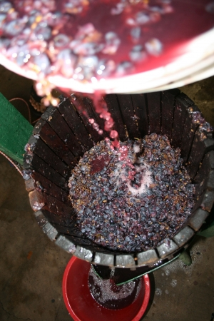 wine grapes: Pressing red grapes for juice to be used in wine making