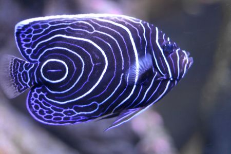 Tropical fish with blue and white circle pattern Stock Photo - 2651733