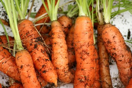 Home grown  carrots Stock Photo - 3027861