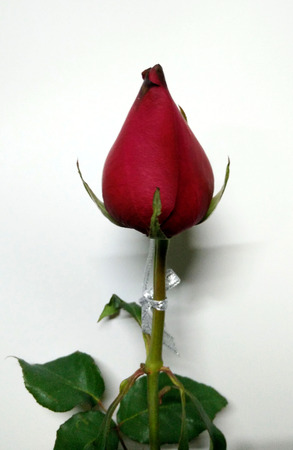 and only: Valentine Red Rose only one for the special one
