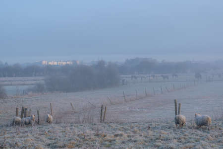 a herd of sheep grazing on a frozen pasture photographed on foggy morning