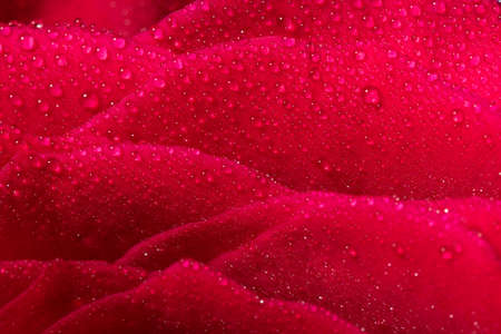 Macro shot o frose flower petal with water droplets, abstract floral backgrounds.