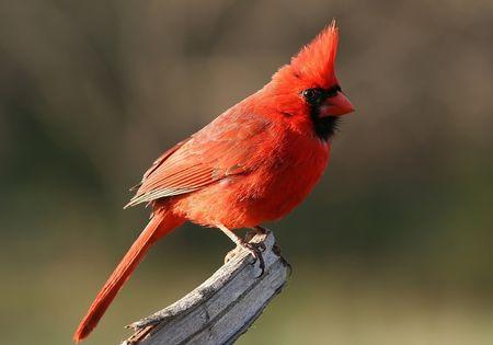 Cardinal resting Stock Photo - 885208