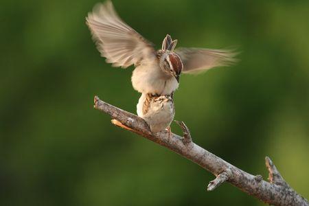 Sparrows mating 版權商用圖片