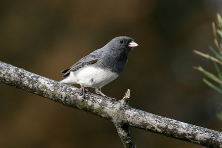 Dark eyed Junco photo