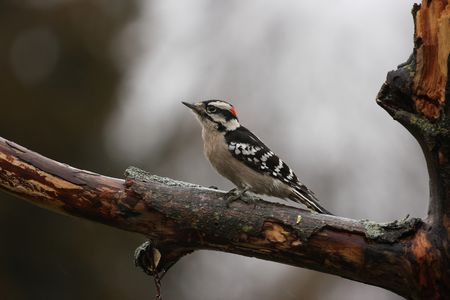 downy: Downy Woodpecker in the rain