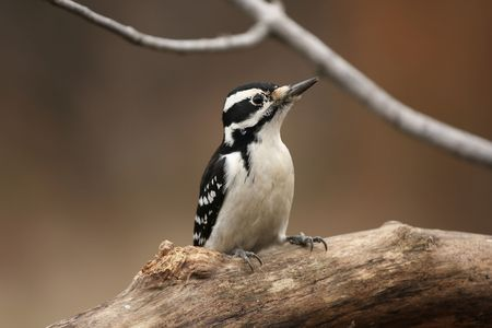 downy: Female Downy Woodpecker Stock Photo