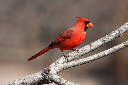 photo: bright red cardinal