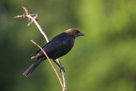 birder: Cowbird Stock Photo