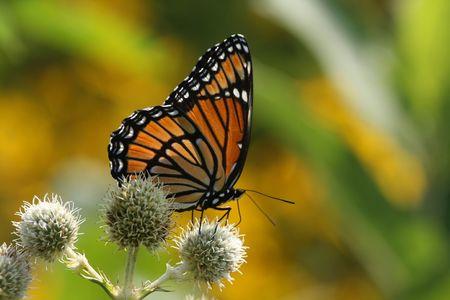 viceroy: Viceroy Butterfly