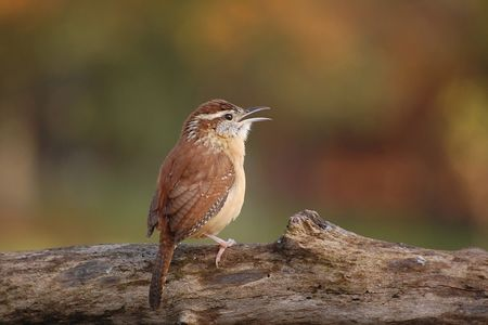 Carolina Wren Stock fotó