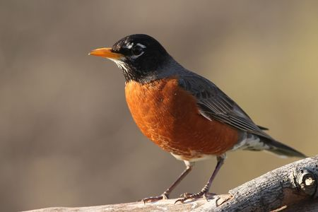 American Robin Stock Photo - 3789573