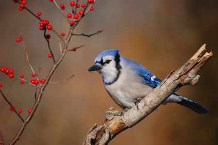 Blue Jay and Berries 1 Stock Photo - 4038680