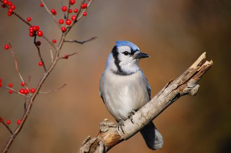 Blue Jay and Berries 2 Stock Photo - 4038679