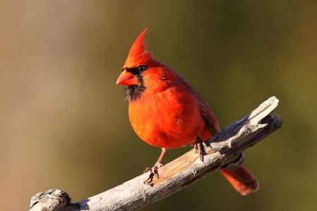 birder: Cardinal in the sun... Stock Photo