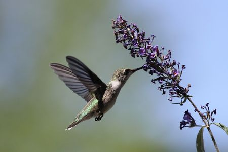 missouri: Hungry Hummingbird Stock Photo