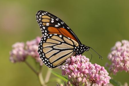american butterflies: Monarch feeding from a mikweed plant.