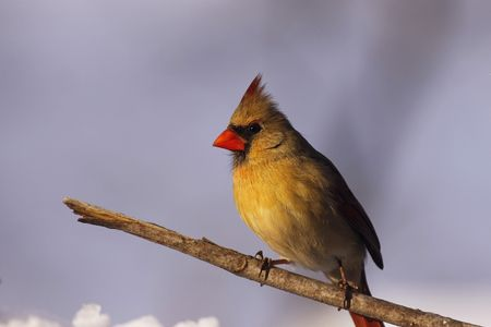 Female Cardinal in the snow... photo