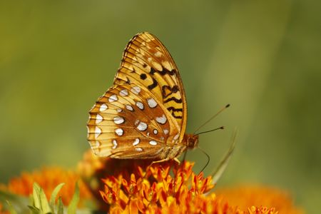 spangled: Great spangled fritillary butterfly Stock Photo