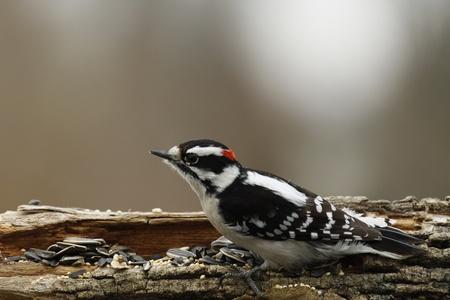 downy woodpecker: Male Downy Woodpecker Stock Photo