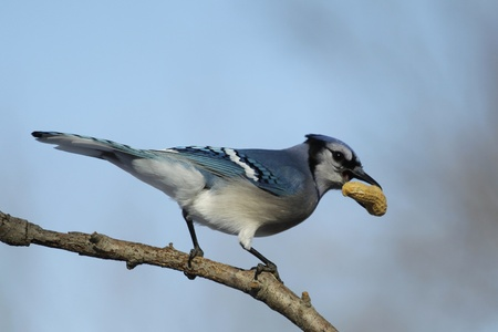 snatched: A Blue Jay that just snatched a fresh peanut from my feeder.