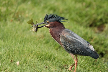 Green Heron with a fish it just caught. 版權商用圖片