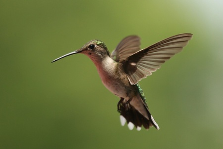 Female Ruby Throated Hummingbird Stock Photo