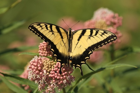 swallowtail: Eastern Tiger Swallowtail with wings wide open