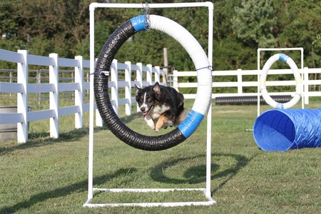 agility: Australia Shepherd agility training
