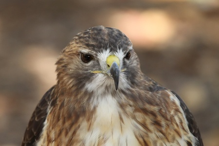 Red Shouldered Hawk taken at the World Bird Sanctuary in Missouri. photo
