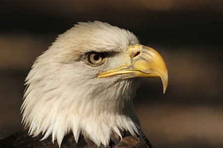 talons: Bald Eagle Profile Stock Photo