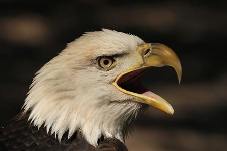 비명을 지르는 독수리