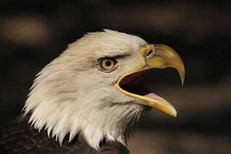 Screaming Eagle photo