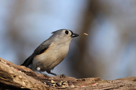 Tufted Titmouse that lost it's seed. 免版税图像