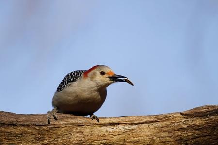 Red Bellied Woodpecker 版權商用圖片
