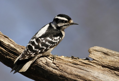 downy woodpecker: Female Downy Woodpecker Stock Photo