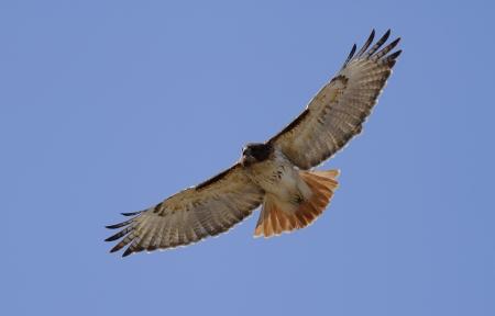 hawks: Red Tailed Hawk in volo Archivio Fotografico