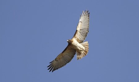 red tailed hawk: Red Tailed Hawk in Flight Stock Photo