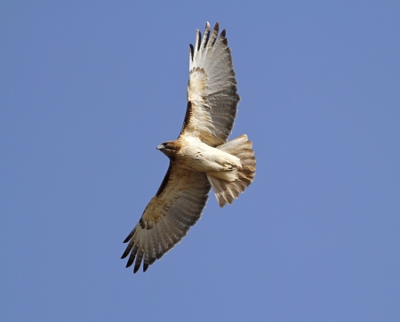 soaring: Red Tailed Hawk In flight Stock Photo